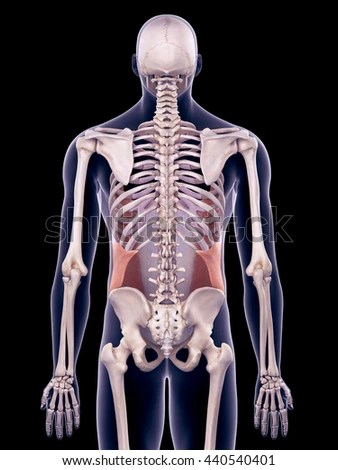 3d Rendered, Medically Accurate Illustration Of The External Oblique - 440540401 : Shutterstock
