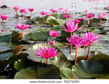 The Lake of water lily, Udonthani, Thailand - stock photo