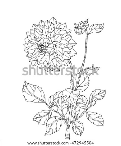 Chrysanthemum flower. Vector artwork.… Stock Photo