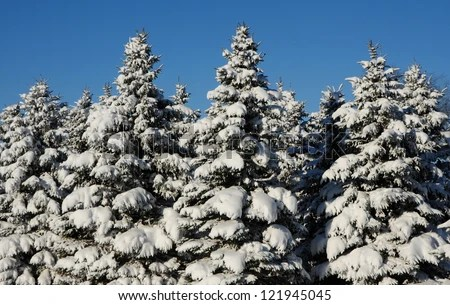 winter landscape evergreen trees