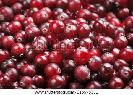 Fresh red ripe cranberries. Most cranberries are processed into products such as juice, sauce, jam, and sweetened dried cranberries, with the remainder sold fresh to consumers. - stock photo