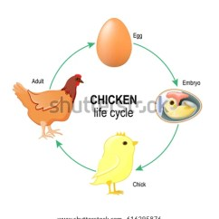 Bird Life Cycle Diagram 1995 Chevy Blazer Engine Chicken Egg Download Free Vector Art Stock Graphics Embryo Chick And Adult