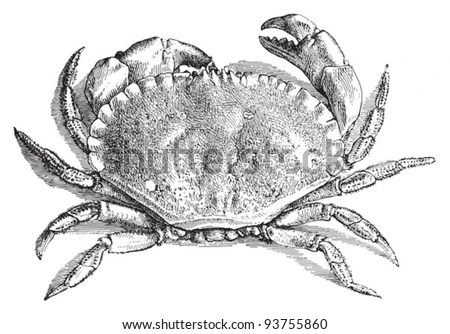 Edible Crab (Cancer Pagurus) / Vintage Illustration From