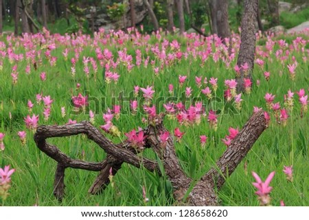 Wild siam tulips blooming in the jungle in Chaiyaphum province, Thailand. - stock photo