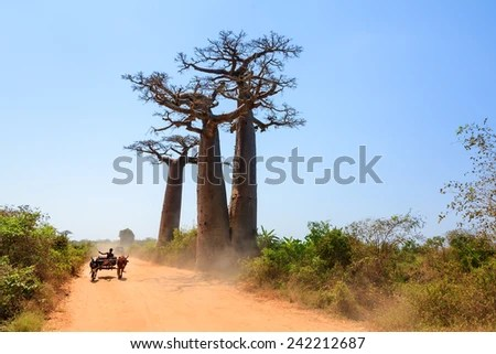 Very typical image of a Malagasy man with his Zebu car on the road with Baobab trees in Madagascar
