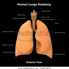 The Lung Anatomy Diagram Label Gm Si Alternator Wiring 3 D Illustration Human Lungs Detailed Stock 3d Of With Labels Anterior View