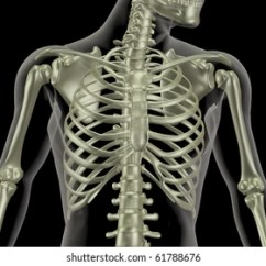 Rib Cage Bone Diagram 2004 Dodge 2 7 Engine Images Stock Photos Vectors Shutterstock 3d Render Of A Skeleton Showing Close Up The