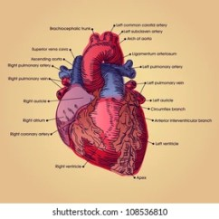 Realistic Heart Diagram Fender Bass Wiring Diagrams Of The Human Images Stock Photos Vectors Shutterstock Anatomical Illustration With Text
