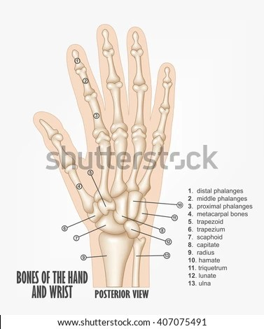 wrist and hand unlabeled diagram gm 3 wire alternator bones anatomy stock illustration royalty free of the