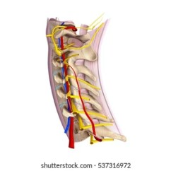 Nerves In Neck And Shoulder Diagram How To Convert Uml Java Code Nerve Images Stock Photos Vectors Shutterstock Cervical Spine With Ligaments Blood Vessels Lateral View 3d Illustration