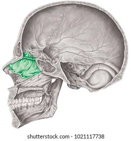 ethmoid bone diagram gl1800 trailer wiring images stock photos vectors shutterstock the of cranium bones head