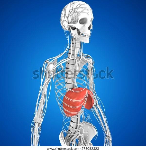 Diaphragm Stock Illustration 278082323