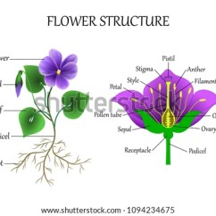 Parts Of A Flower Diagram Pickleball Court Education Botany Biology Structure Stock Illustration And The In Section