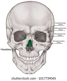 ethmoid bone diagram leviton single pole light switch wiring images stock photos vectors shutterstock the of cranium bones head skull