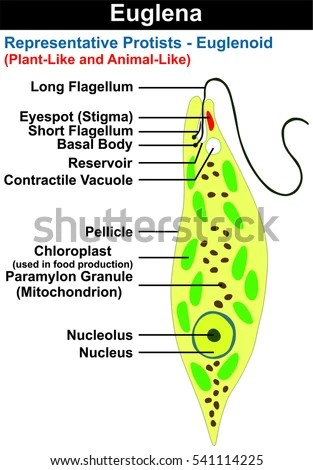euglena cell diagram with labels garage consumer unit wiring uk royalty free stock illustration of cross section representative protists euglenoid plant like and animal microscopic creature all part nucleus flagellum eyespot