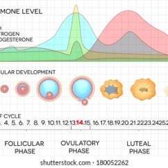 Menstrual Cycle Diagram With Ovulation Wiring Main Breaker Panel Female Images Stock Photos Vectors Shutterstock Process And Hormone Levels Detailed Medical Illustration