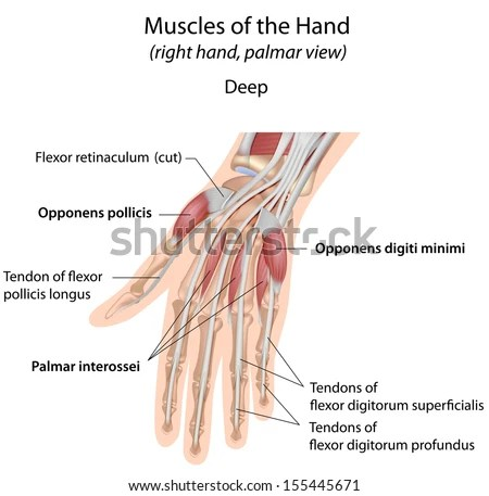 hand muscles diagram 2006 chevy cobalt headlight wiring royalty free stock illustration of palm deep labeled