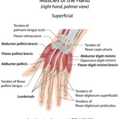 Hand Muscles Diagram 2006 Nissan Xterra Drive Belt Tendons Images Stock Photos Vectors Shutterstock Palmar Aspect Superficial Labeled