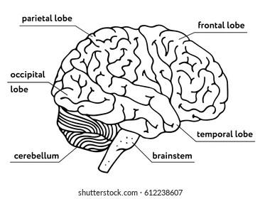 easy brain diagram msd digital 6al wiring chevy x7c lektionenderliebe de snu vipie u2022 rh