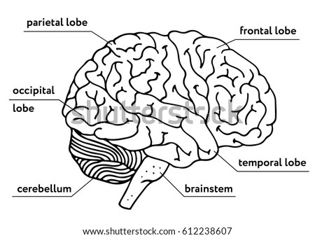 Human Brain Outline Illustration Isolated Onのイラスト素材