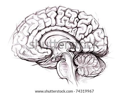 Human Brain Sagittal View Medical Sketchy Stock