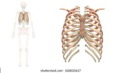 rib cage bone diagram 66 block wiring images stock photos vectors shutterstock human skeleton system bones anatomy posterior view 3d