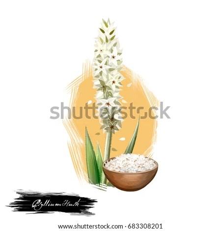 Isabgol Psyllium Husk Plantago Ovata Ayurvedic Stock Illustration 683308201 - Shutterstock