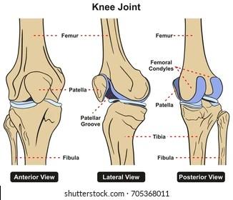 tibia and fibula blank diagram e38 dsp wiring femur bone diagrams great installation of free for you u2022 rh thespod com bones