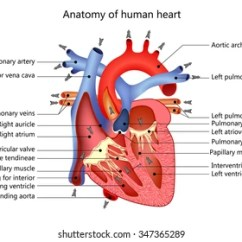Interior Heart Diagram Code 3 Mx7000 Wiring Human Anatomy Images Stock Photos Vectors Shutterstock Medical Structure Of The Illustration