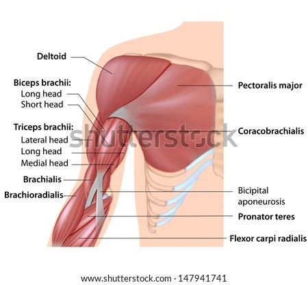 triceps brachii diagram reed kellogg sentence muscles arm anatomy labeled stock illustration royalty of the