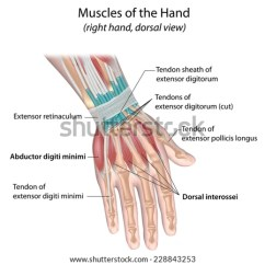 Muscle Diagram Dorsal Kohler Mand Racing Parts Muscles Hand View Labeled Stock Illustration 228843253 Of