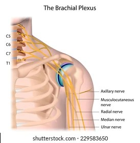 radial nerve diagram samsung galaxy s3 parts royalty free stock images photos vectors shutterstock nerves of the brachial plexus labeled