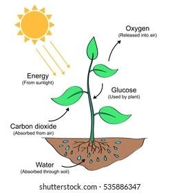 Photosynthesis Process Labelled Illustration  535886359의 비슷한 이미지, 스톡 사진 및 벡터 | Shutterstock