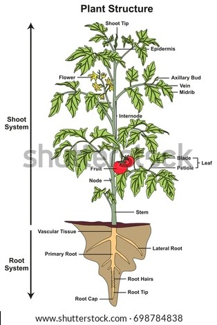 flower parts diagram meyers plow wiring plant structure infographic including all stock illustration of shoot and root systems showing buds fruit