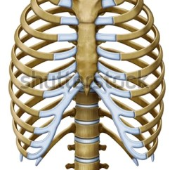 Diagram Of Ribs And Organs Shunt Motor Wiring Royalty Free Stock Illustration Protextora Bone Rib Cage Internal Or Thorax