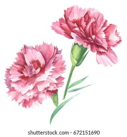 watercolor carnation images stock
