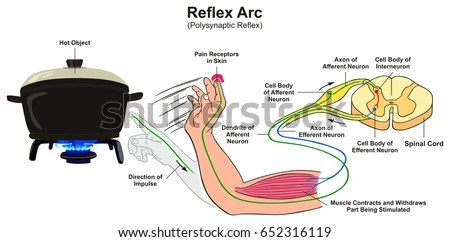 reflex arc diagram 1996 nissan maxima exhaust system infographic example polysynaptic stock with of human hand touching hot object pain receptors
