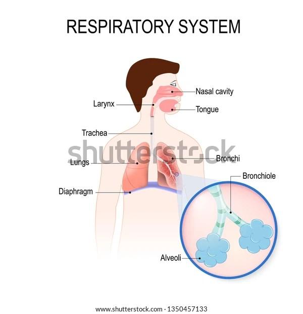 Respiratory System Bronchiole Bronchi Diaphragm Trachea 스톡 일러스트 1350457133