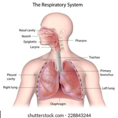 Label The Following Diagram Of Respiratory System 03 Expedition Fuse Images Stock Photos Vectors Shutterstock Labeled