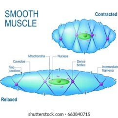 Human Muscle Cell Diagram Labeled 2006 Impala Bose Radio Wiring Smooth Diagrams Images Stock Photos Vectors Shutterstock Rh Com Skeletal Cardiac