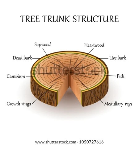 plant pith diagram cross section onan 5500 generator remote start wiring royalty free stock illustration of structure slice tree layers the in education biology poster
