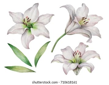 lily flower images stock