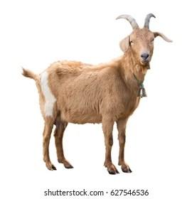goat images stock photos