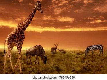 safari background images stock