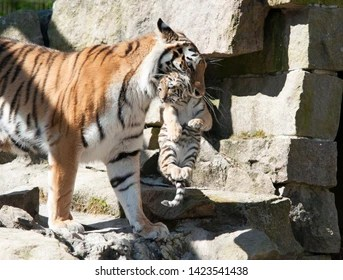 tiger mom images stock