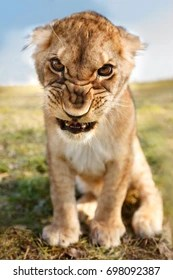 angry lion images stock