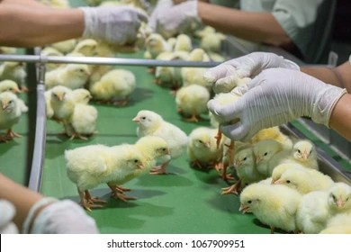 poultry images stock photos