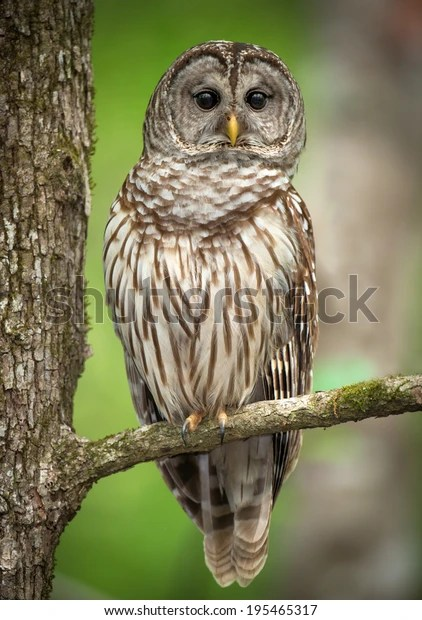Barred Owl Perched On Tree Branch Stock Photo (Edit Now) 195465317