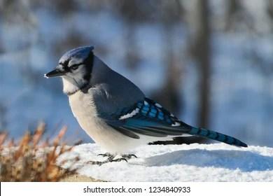 blue jay bird images