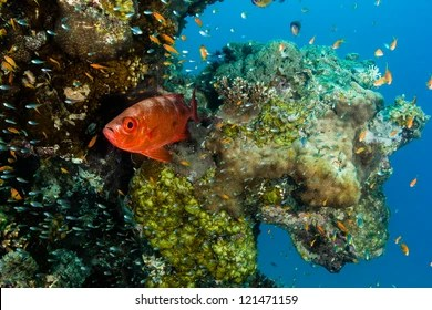 small eyed squirrelfish images